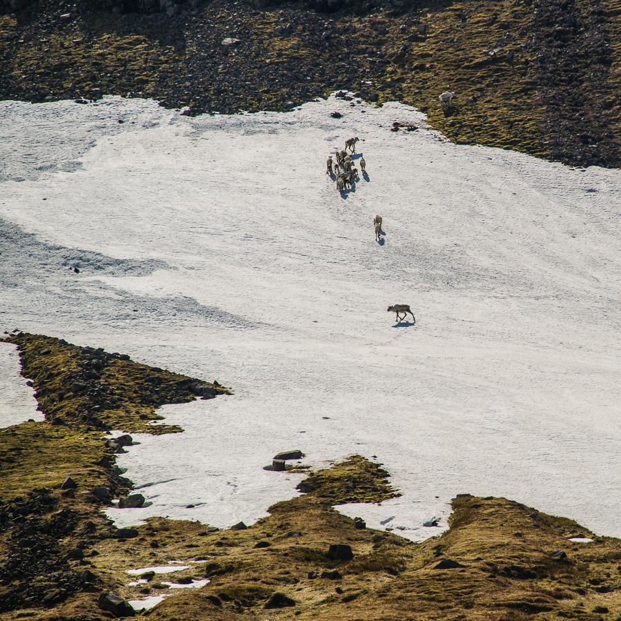 Исландия день четвертый. Горные козлы (бараны)