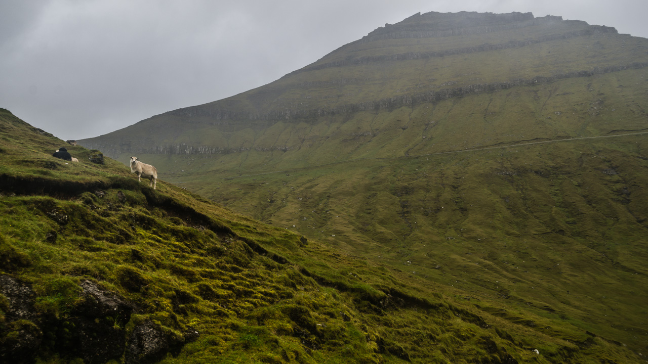 Фареры, день 2 0958|Овцы на склоне
